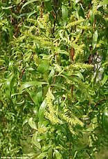 Верба Матсуда Tortuosa 3 річна, Ива Матсуди Тортуоза, Salix matsudana Tortuosa, фото 3