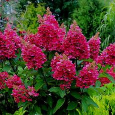 Гортензія волотиста Wim's Red 3 річна, Гортензія волотиста Вимс Ред, Hydrangea paniculata Wim's Red, фото 2