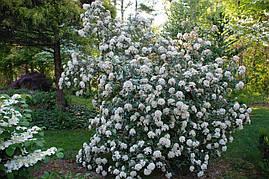 Калина вічнозелена морщинистолистна 3 річна, Калина морщинистолистная / Пражская, Viburnum rhytidophyllum, фото 3