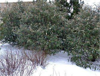 Калина вічнозелена морщинистолистна 3 річна, Калина морщинистолистная / Пражская, Viburnum rhytidophyllum