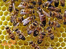Матка. Украинская степная порода пчел. Меченная. НЕ Плодная