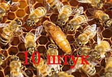 Матка Кордован (Cordovan) (не плодная) – 10 пчеломаток