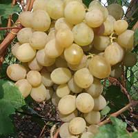 Виноград Рожевий Серпанок