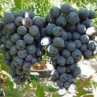 Виноград Страшенський