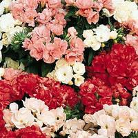 Семена цветов Флокс Друммонда  махровая смесь  100 шт