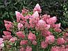 Гортензія морозостійка Vanille Fraise 3 річна, Гортензия метельчатая Ванилла Фрейз, Hydrangea paniculata Renhy, фото 4