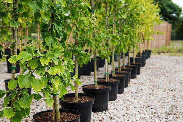 Покупка саженцев деревьев от компании Клиома Сервис