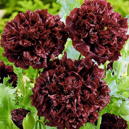 Мак Блек піоновидний насіння (Hem Zaden)
