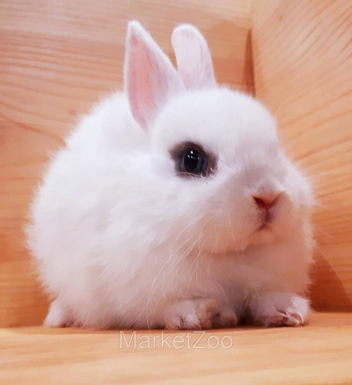 """Карл.торчеухий кролик,порода """"Голландский"""",окрас""""Белый"""",возраст 2мес.,мальчик"""