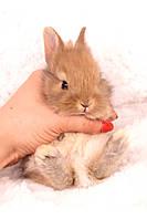 """Карл.торчеухий кролик,порода """"Львиноголовый"""",окрас """"Оранж"""",девочка и мальчик,возраст 1,5мес."""