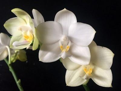 """Орхидея, горшок 2.5"""", без цветов. Сорт Tzu chiang Chrisna"""