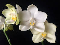 "Орхидея, горшок 2.5"", без цветов. Сорт Tzu chiang Chrisna, фото 1"