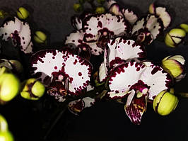 """Орхідея, горщик 2.5"""", без квітів. Сорт GW210 (color instability)"""