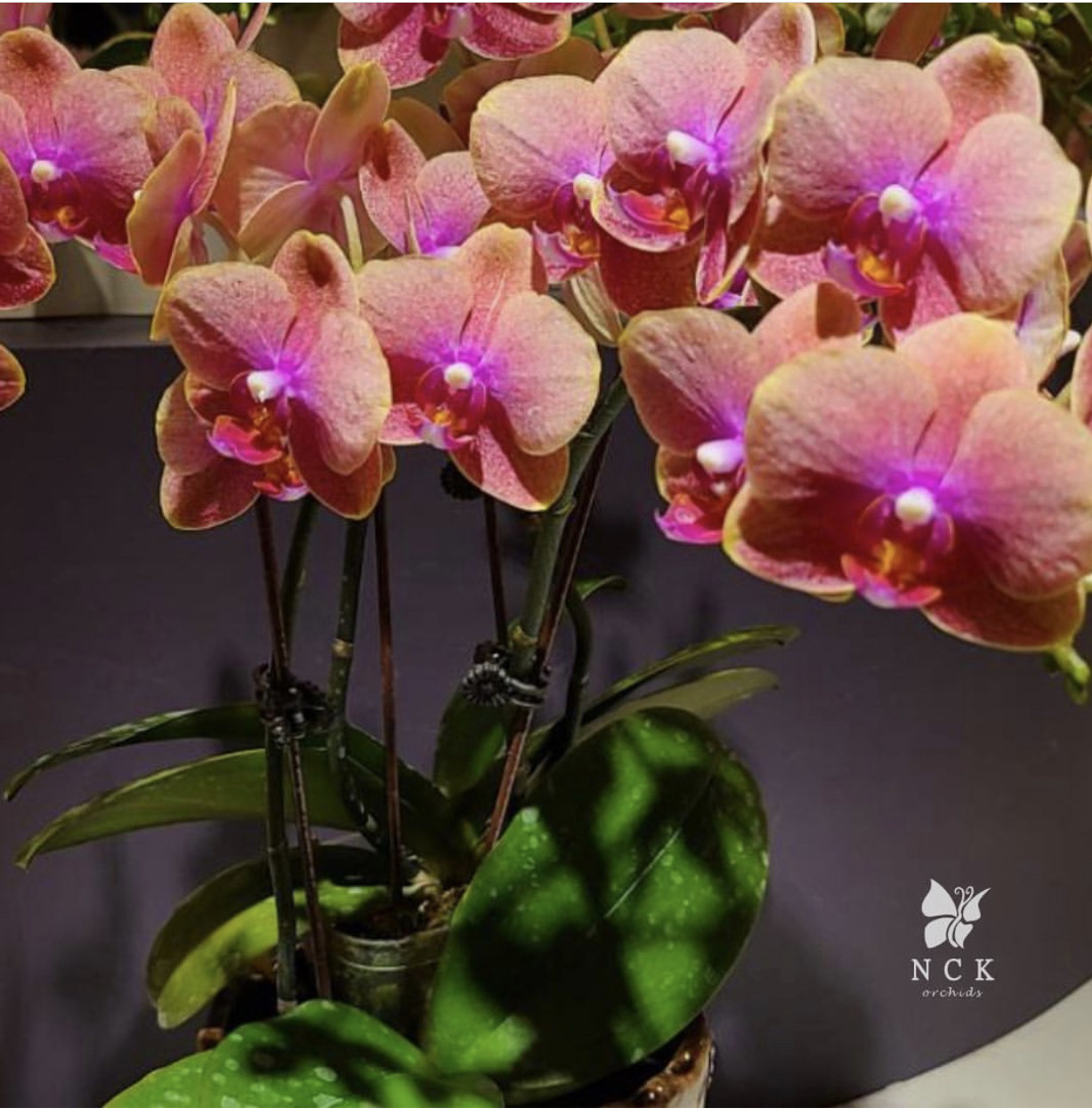 """Орхідея, горщик 2.5"""", без квітів. Сорт Horn lin exotica"""