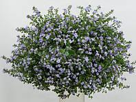 Семена цветов бакопы Белле Blue 100 драже
