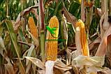 Насіння Кукурудзи ВН 63 ф2. (ФАО 280), ВНІС, фото 2