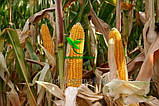Семена Кукурузы ВН 63 ф2.  (ФАО 280), ВНИС, фото 2