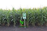 Семена Кукуруза АРГЕНТУМ ФАО 250, (Маис Черкассы), фото 2