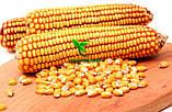 Семена Кукуруза АРГЕНТУМ ФАО 250, (Маис Черкассы), фото 6