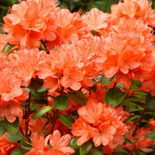 Рододендрон японский Geisha Orange