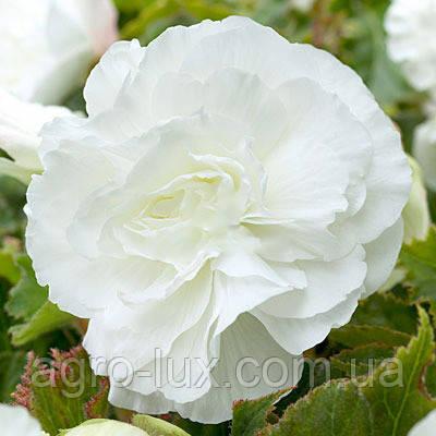 Семена цветов бегонии вечноцветущей 200 драже Белой