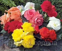 Семена цветов бегонии  вечноцветущей 200 драже Микс
