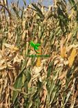 Насіння Кукурудзи ПОРУМБЕНИ 375 МРФ (ФАО 310), 21,2 кг, 2019 р. в. Югагросервис, фото 6