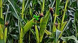 Насіння Кукурудзи ПОРУМБЕНИ 375 МРФ (ФАО 310), 21,2 кг, 2019 р. в. Югагросервис, фото 7