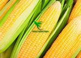 Насіння Кукурудзи ПОРУМБЕНИ 375 МРФ (ФАО 310), 21,2 кг, 2019 р. в. Югагросервис, фото 8
