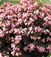 Семена цветов бегонии межвидовой Акира Deep Rose 250 драже