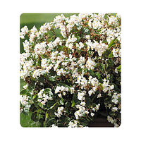 Семена цветов бегонии межвидовой Акира White 250 драже