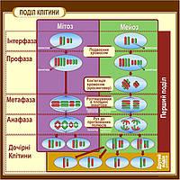 """Стенды для школы по биологии """"Деление клетки"""""""
