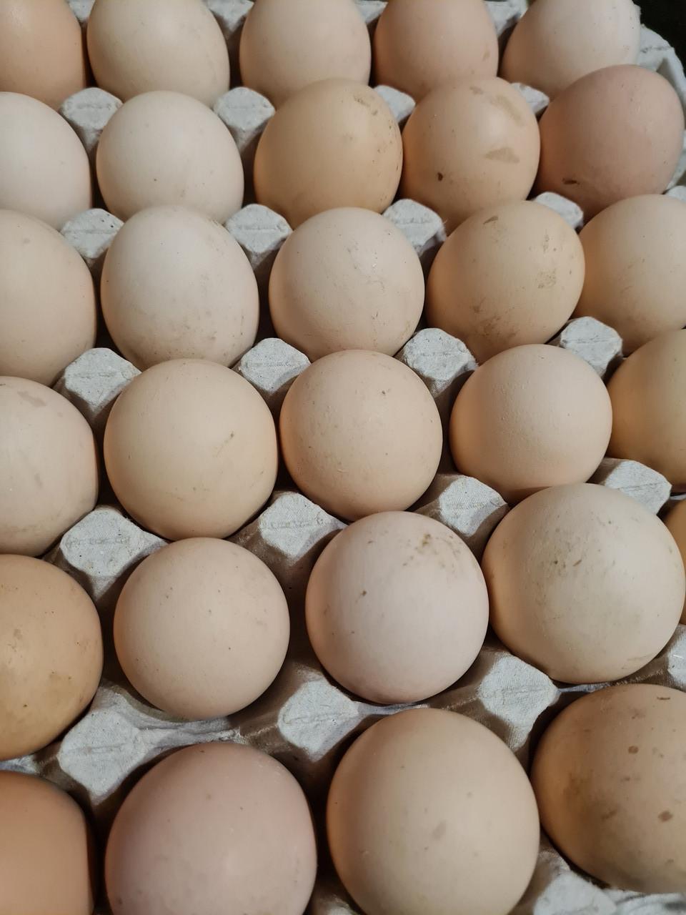 Инкубационное яйцо бройлера  РОСС 308 (Украина)