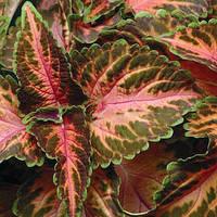 Колеус  Бамбино Coral/Green 500 семян
