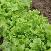 Семена салата KS 190  5гр. Kitano Seeds