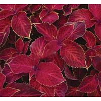 Колеус Бамбино ,Velvet ,500 семян