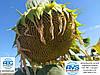 Гібрид соняшника стійкий до Євролайтингу ЄС Берекет. Насіння врожайне 42ц/га олійне 49% посухостійке. Врожай 2020 року.