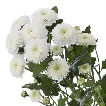 Хризантема Коконут