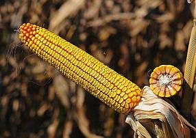 Семена кукурузы ДН Хортица ФАО 240