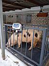 Ваги для зважування тварин VTP-G-1015 (1500 кг, 1000х1500 мм) з огорожею 900 мм, фото 2