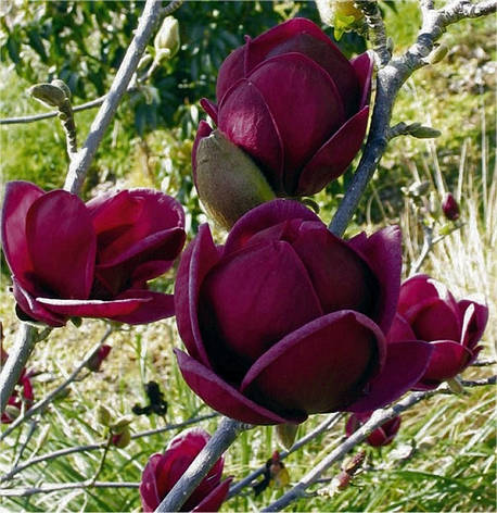 Магнолія Genie 4 річна 1-1.3 м, Магнолия гибридная Джени, Magnolia Genie, фото 2