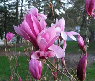 Магнолія Ricki 80-100см, Магнолия гибридная Рикки, Magnolia Ricki