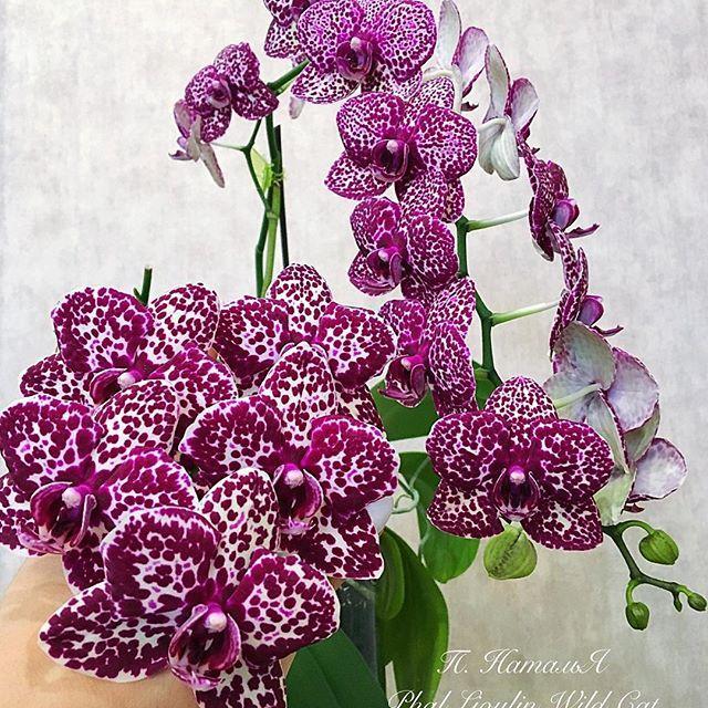 Орхидея. Сорт Phal. Lioulin Wild Cat  (Дикий кот) без цветов, горшок 2.5