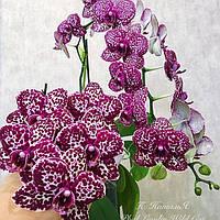 Орхидея. Сорт Phal. Lioulin Wild Cat  (Дикий кот) без цветов, горшок 2.5, фото 1