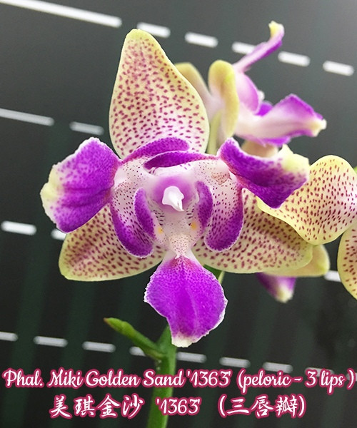 """Орхидеи. Сорт Phal. Miki Golden Sand (3 lips), горшок размер 2.5"""" без цветов"""