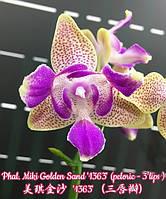 "Орхидеи. Сорт Phal. Miki Golden Sand (3 lips), горшок размер 2.5"" без цветов, фото 1"