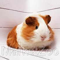 """Морская свинка,порода """"Гладкошерстная"""",окрас """"Бело-оранж."""",возраст 1,5мес.,мальчик, фото 3"""