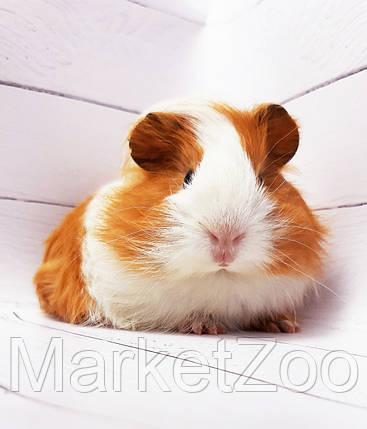 """Морская свинка,порода """"Гладкошерстная"""",окрас """"Бело-оранж."""",возраст 1,5мес.,мальчик, фото 2"""