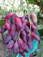 Виноград Дубовський рожевий. Відкрита коренева