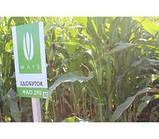 Семена кукурузы ЗДОБУТОК (ФАО 290), 2018 г.у. (Маис Черкассы), фото 6